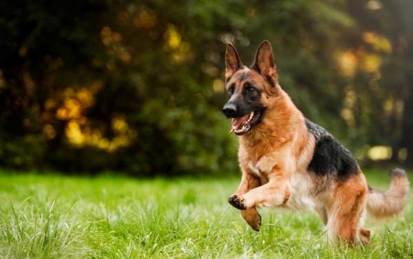 Pastore tedesco che corre - immagine relativa a integratori e petfood per rappresentare la salute del cane
